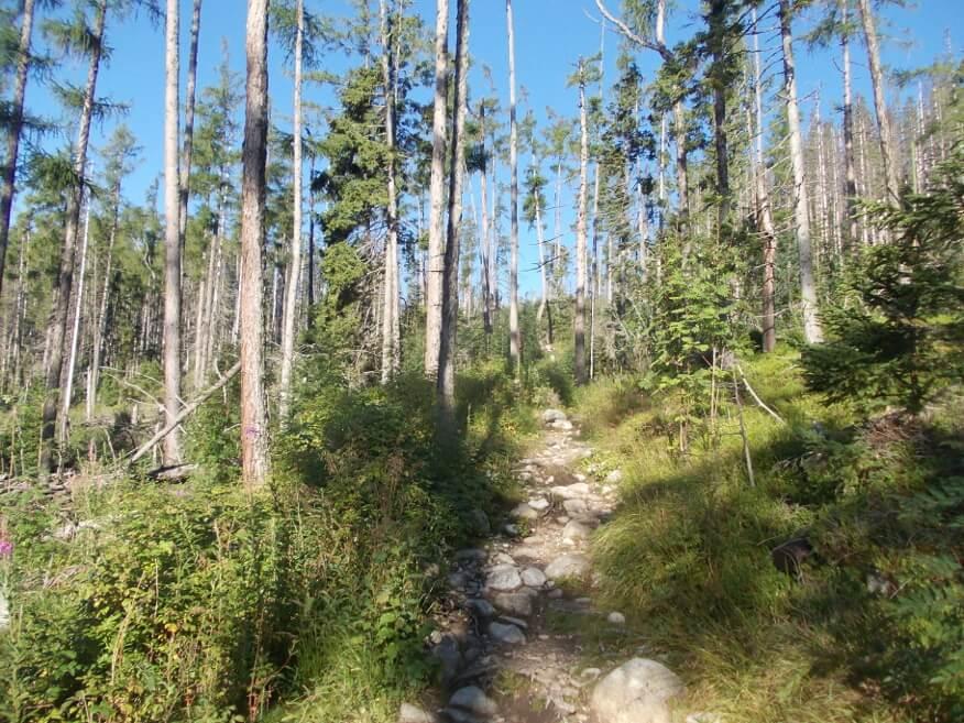 Przyjemny las powyżej Nowego Smokowca