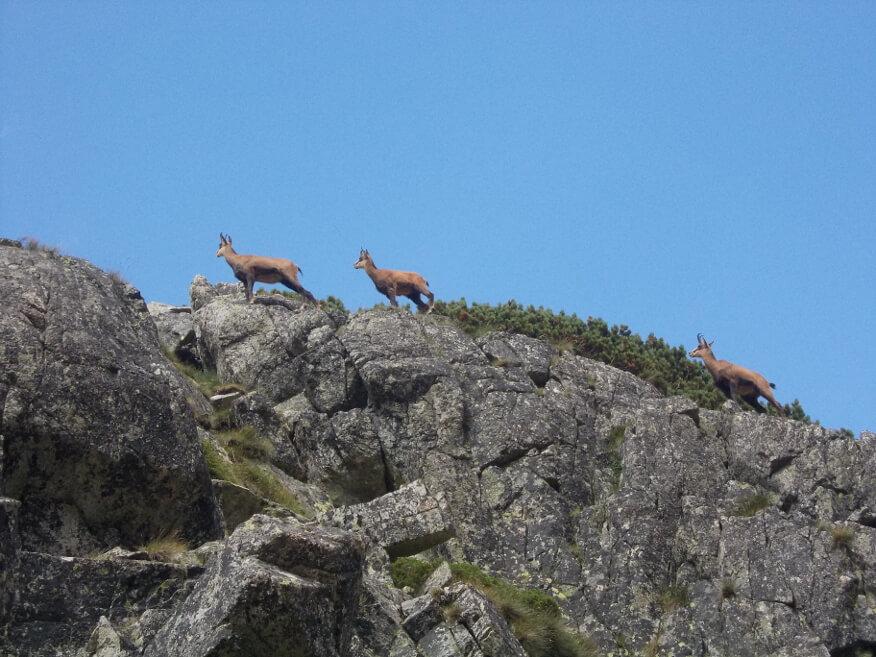 Kazmiki (kozice) na skale