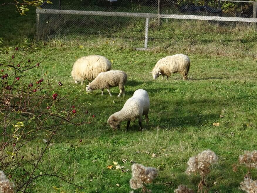 Owce w Oszczadnicy