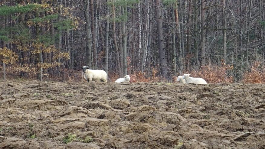 Owce na Działku