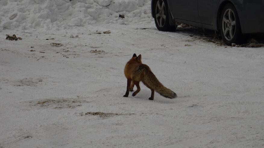 Odważny lis na parkingu na Przełęczy Wyżniańskiej