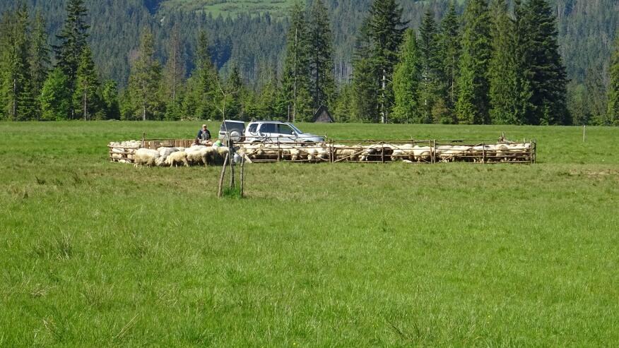 Ogrodzone stadko owiec na Siwej Polanie