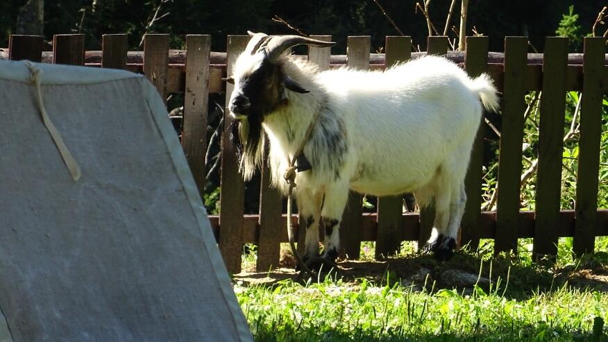 Koza/kozioł przy Schronisku Żarskim