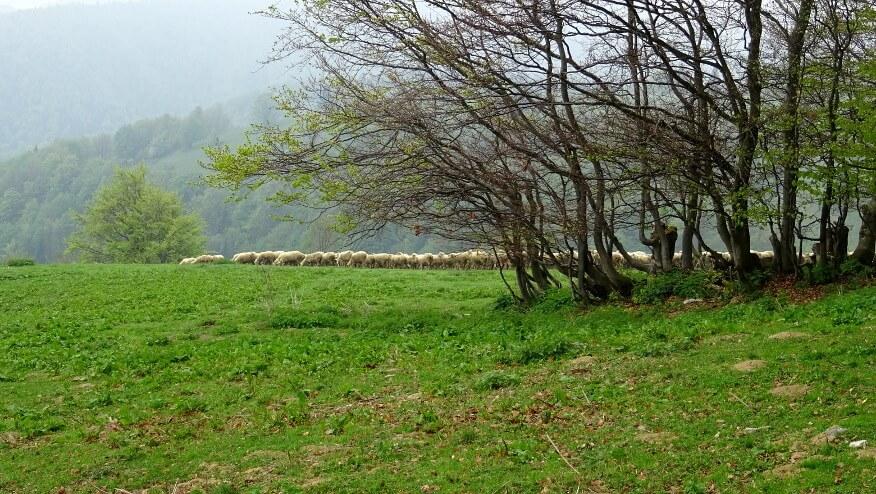 Pierwsze stado owiec