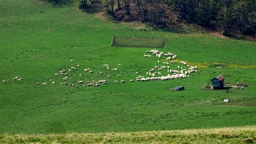 Drugie stado owiec