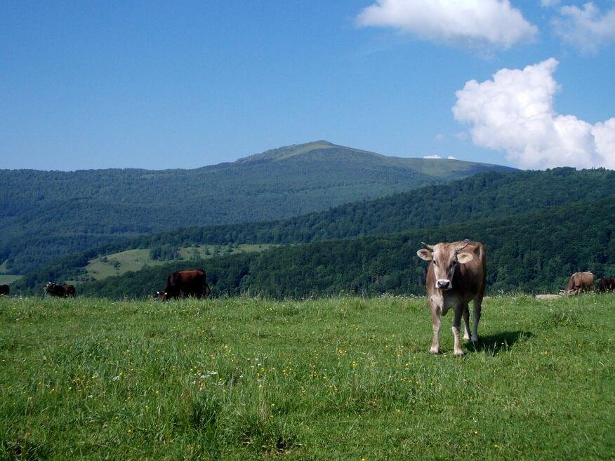 Pozująca krowa na tle Pikuja :-)