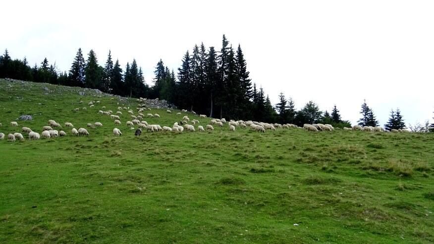 Owce na polanie Zănoaga