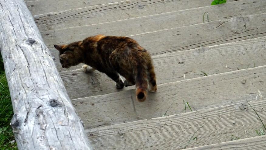 Kot przy Cabana Curmătura (schronisko)
