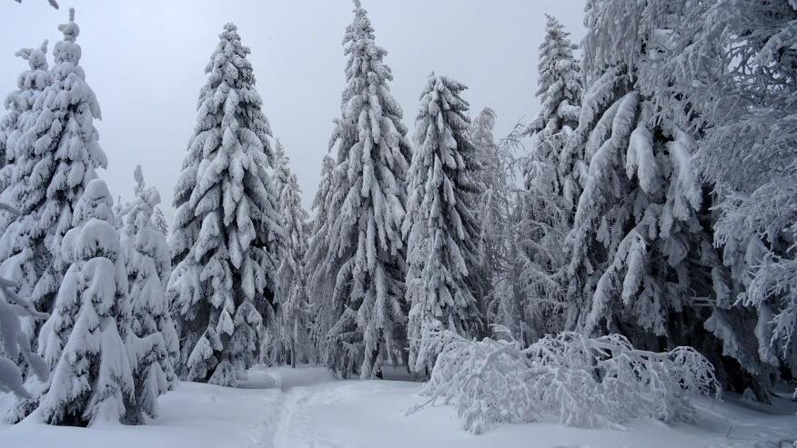 Mocno ośnieżone drzewa