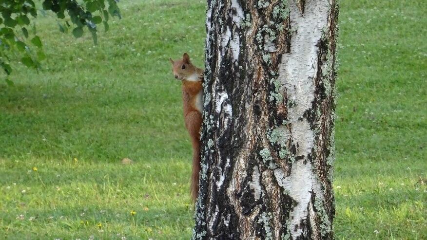 Wiewiórka w Starym Smokowcu