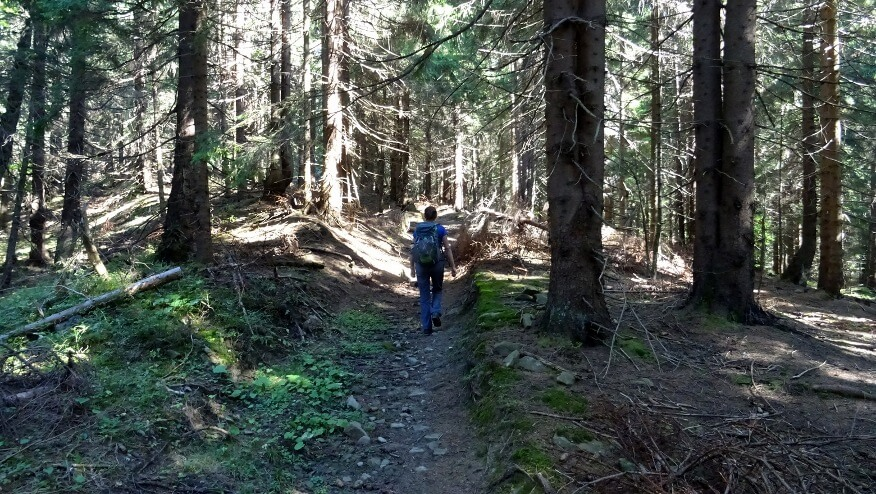 Leśny końcowy etap podejścia na szczyt Javorinki
