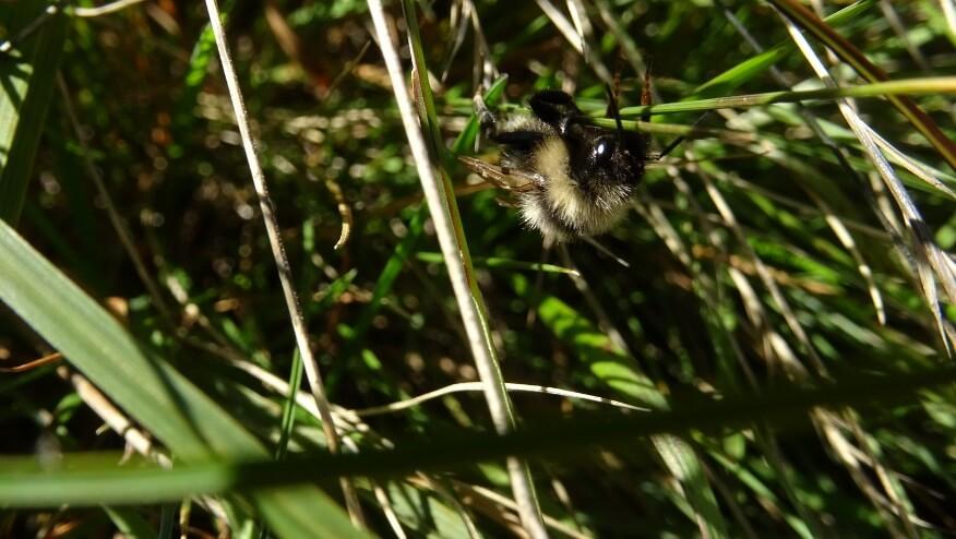 Pszczoła w trawie