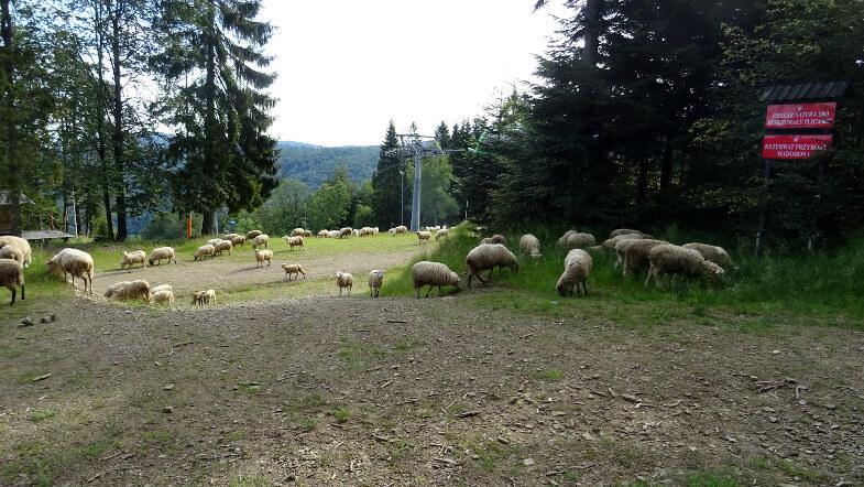 Stado owiec przy wyciągach Czarnego Gronia