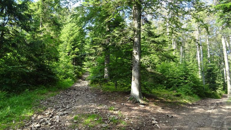 Spokojny las podczas popołudniowych męczarni z Lubogoszczem